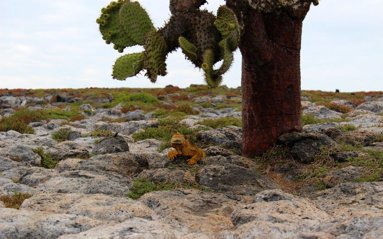 iguane-plazas-sur-galapagos