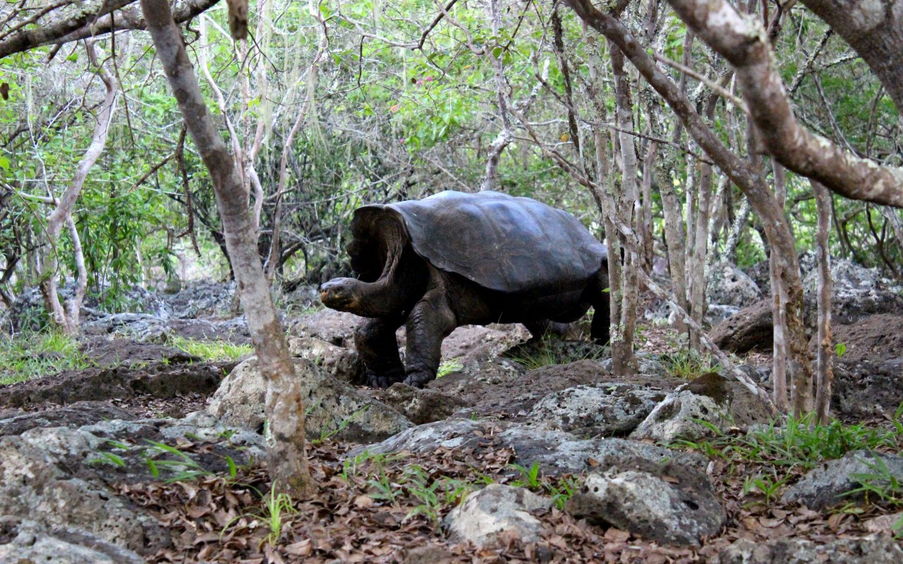 tortue-géante-galapagos