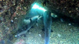 requins-galapagos