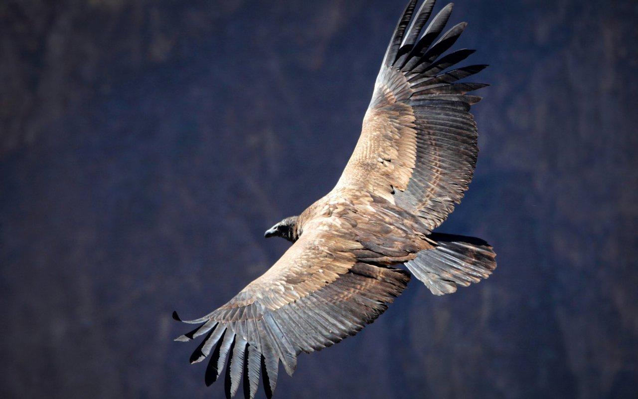 Condor de l'Equateur