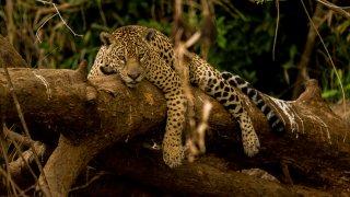 Le Jaguar, le félin d'Amérique Latine