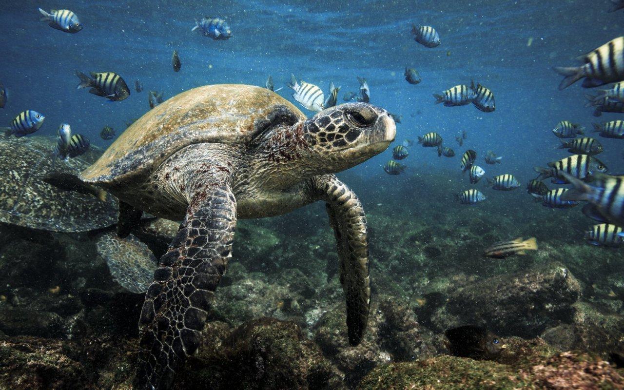 Tortues vertes des îles Galapagos