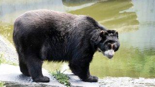 Le mythique ours à lunettes