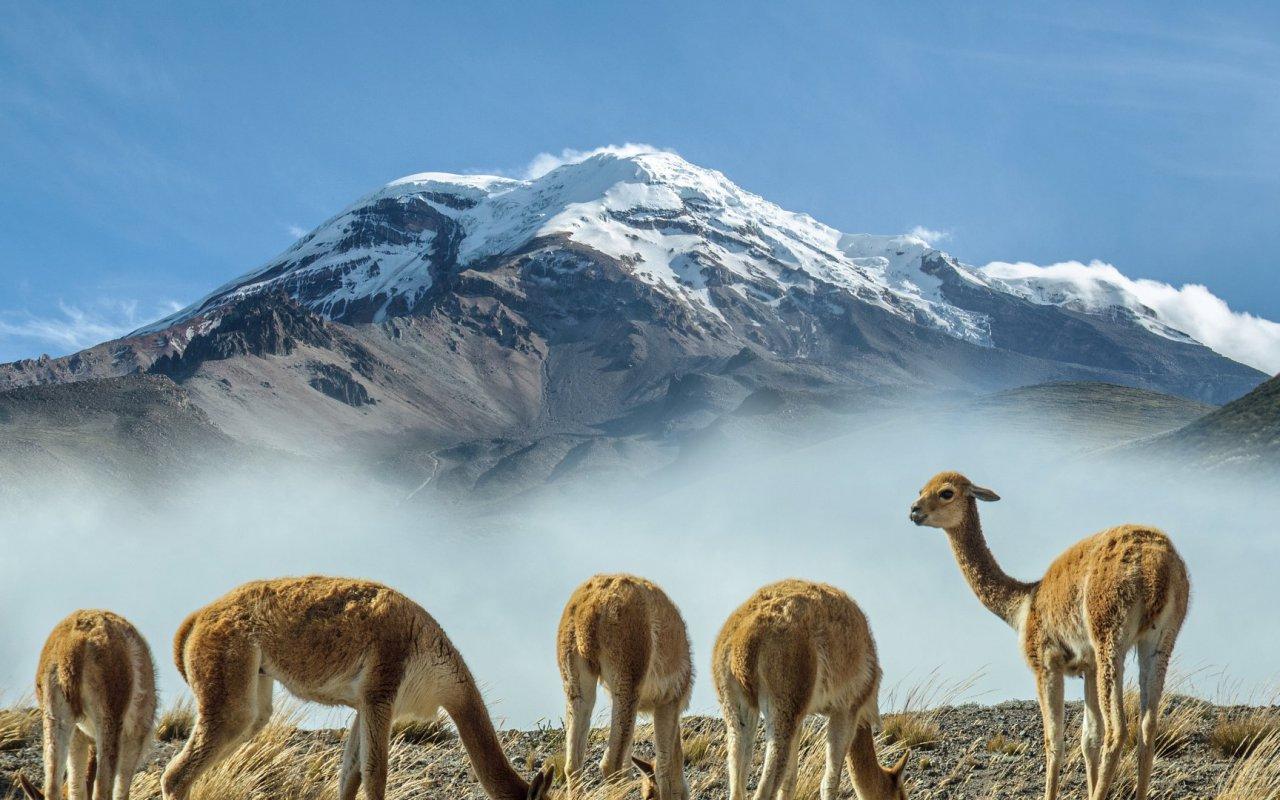 Vigognes au pied du volcan Chimborazo