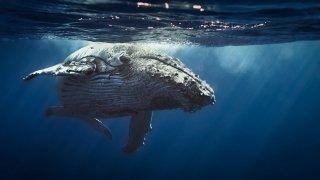 Les baleines à bosse en Equateur sur la Côte Pacifique