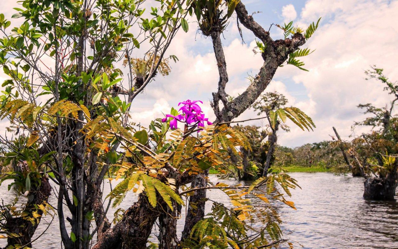 Variété d'orchidée en Equateur