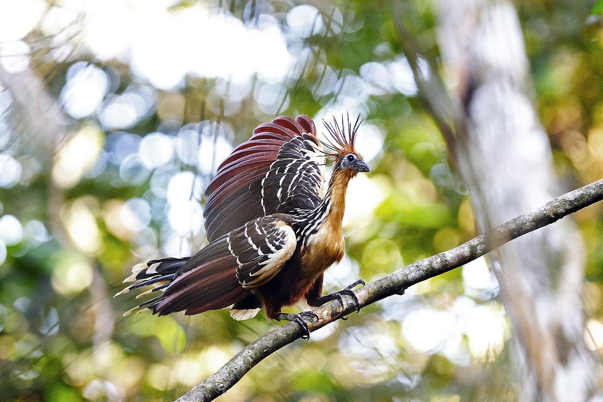 AMAZONIE - Hoatzin