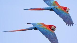aras amazonie - voyage equateur