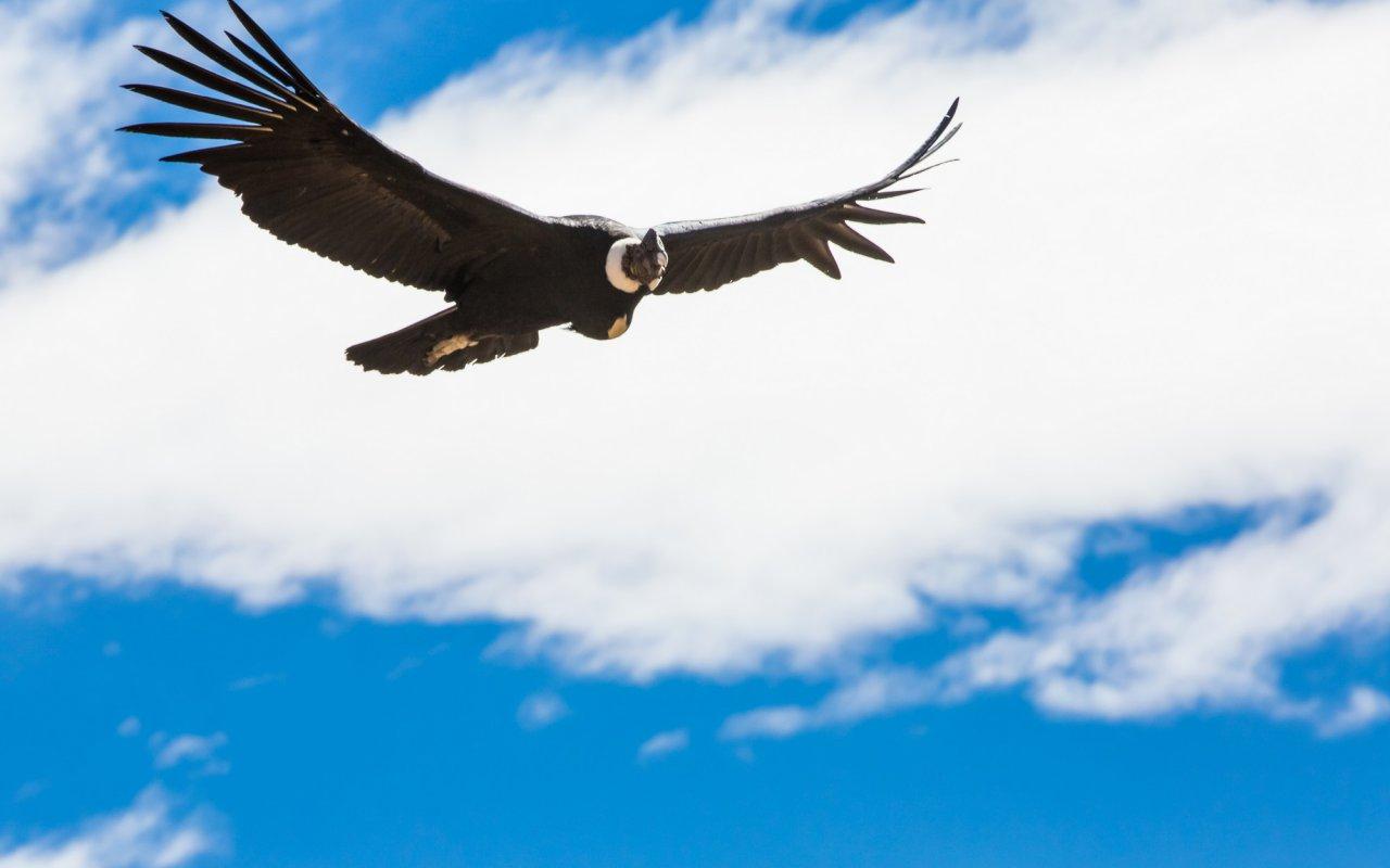 condor-equateur