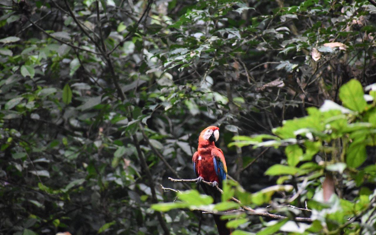 perroquet-equateur