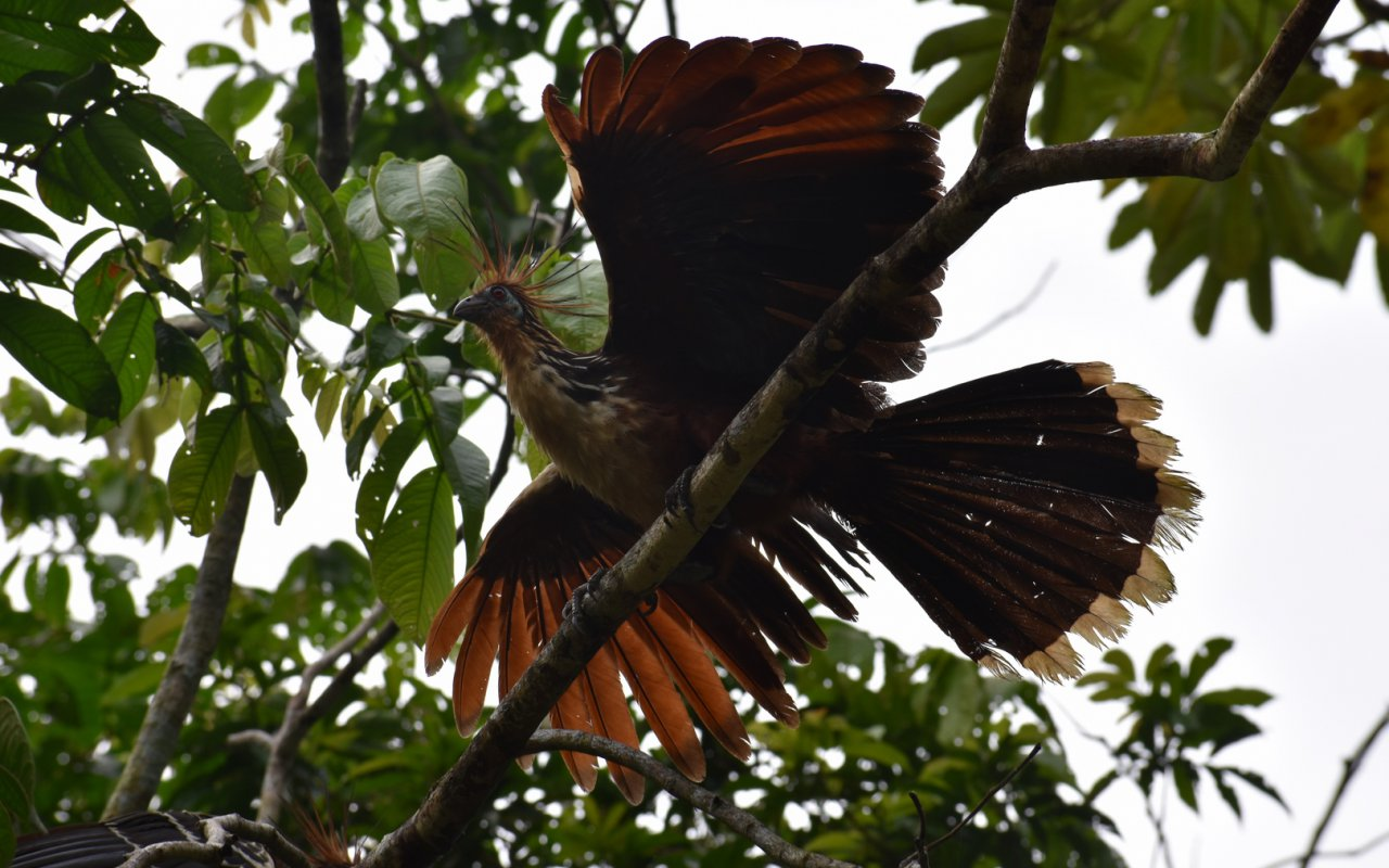 hoatzin-oiseau-equateur