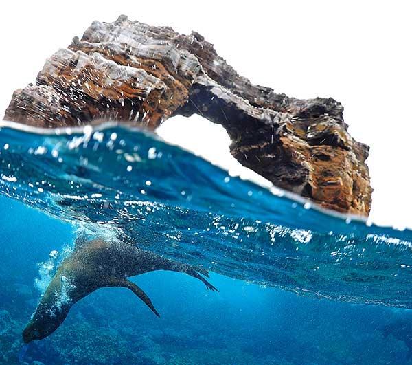 Loup marin aux Galapagos