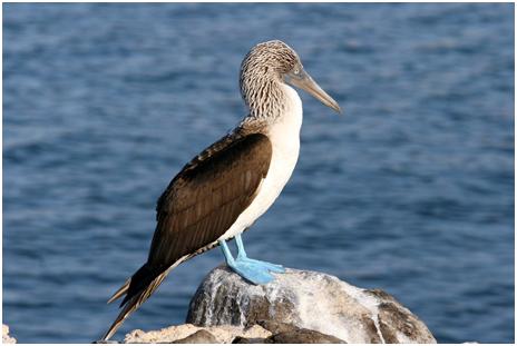 Un fou à pieds bleus dans les Galapagos